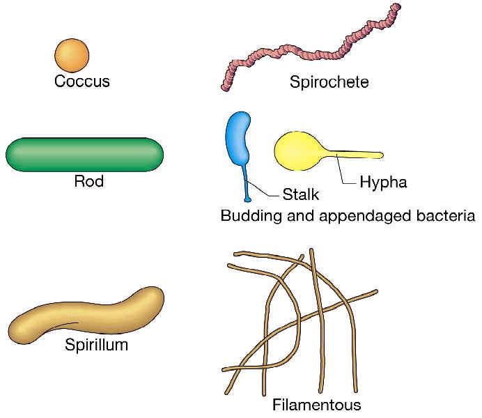 Principales formas bacterianas