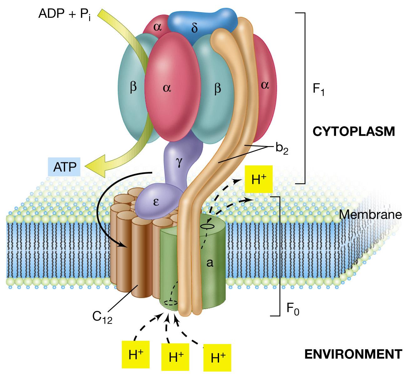 Transporte de membrana: Bombas del transporte activo