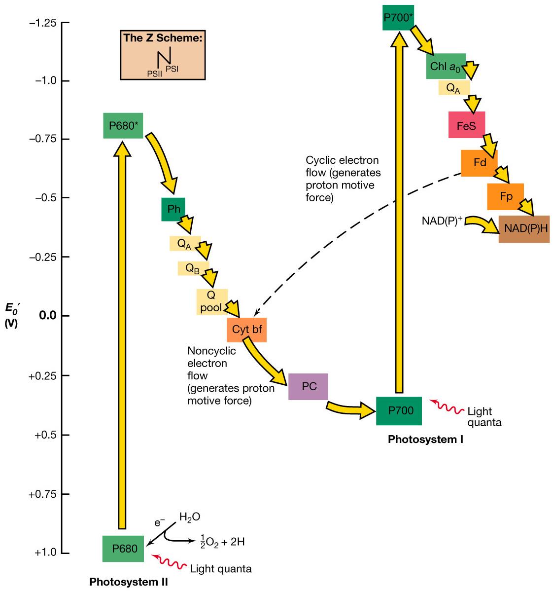Productos de la fotofosforilacion no ciclica 83