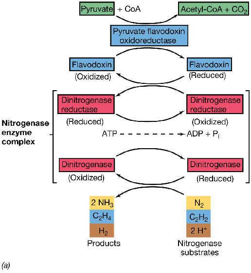 mecanismo de la nitrogenasa dos cosas llaman la atención de