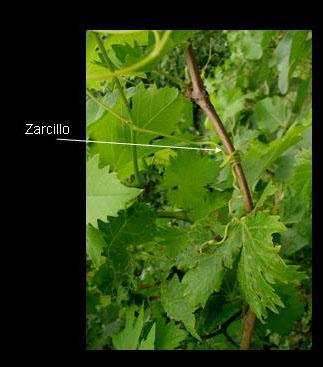 551034f620fd Zarcillos  los zarcillos son estructuras de fijación frecuentes en las  plantas trepadoras. Suelen tener forma de filamento de filamento que se  engancha o ...