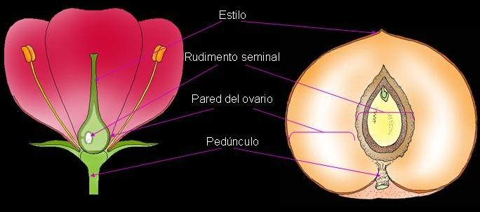 Didáctica de la Botánica: flores dicotiledóneas