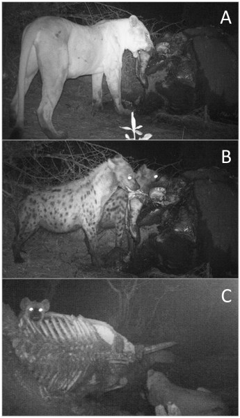 Lions and hyaenas sharing carrion