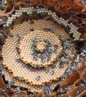 Tetragonula honeycombs showing (a) bull's-eye patterns, (b) spiral patterns (c) double spirals,...