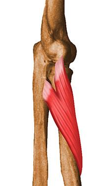 musculo supinador largo origen e insercion