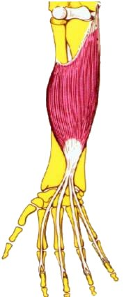 Musculo Flexor Comun Superficial De Los Dedos